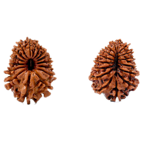 17 Mukhi Rudraksha from Nepal - Small (27mm)