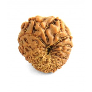 13 Mukhi Rudraksha from Indonesia/Java - Small (15mm-16mm)